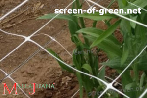 MALLAJUANA installed on vertical in crops