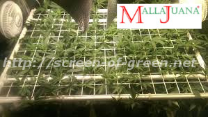 cannabis crops using scrog method