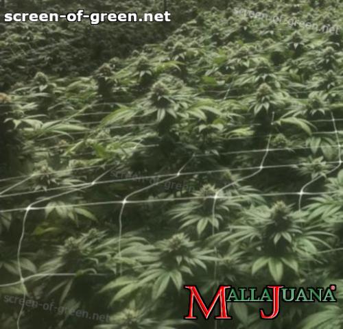 mallajuana net on cannabis crops