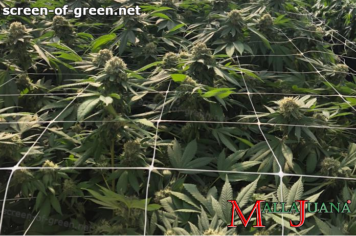 mallajuana support net on cannabis crops