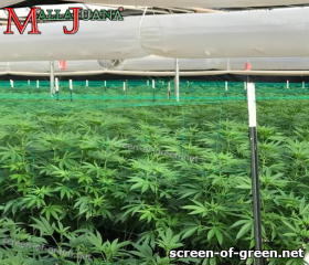 cannabis crops with a suppor net