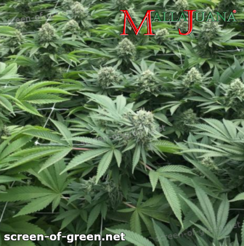 using mallajuana net for screen of green method