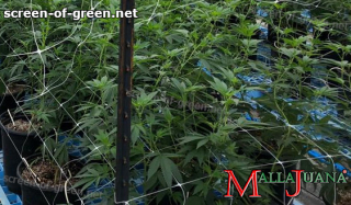 mallajuana installed for the support to plants