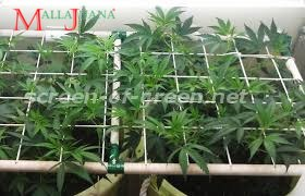 cannabis crops submitten to the scrog method.