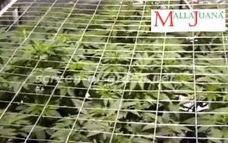 crops of cannabis under  the mesh