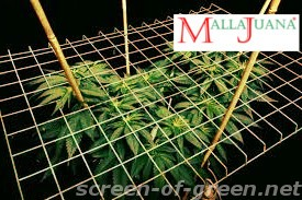 cannabis crops in the screen of green method.