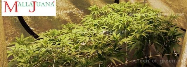 cannabis plant using a mesh.