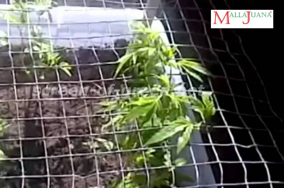 cannabis crops in the scrog method.