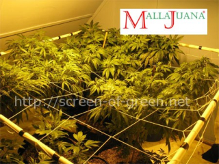 applying the scrog method in the crops of cannabis